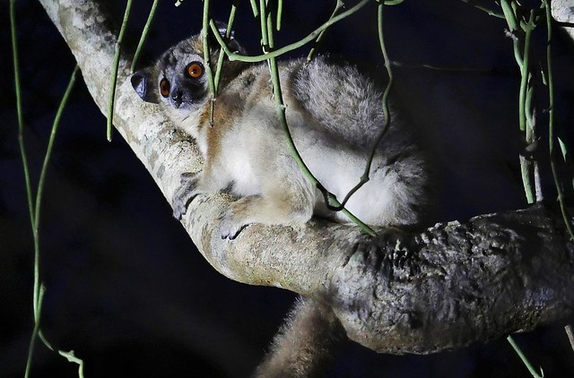 Sportive Lemur At Night ( L. septentrionalis)