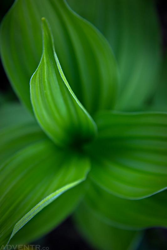 Corn Lily