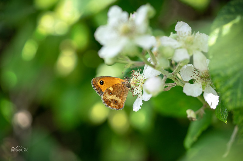 Gatekeeper | Pyronia tithonus