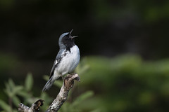 Paruline bleue / Black-throated Blue Warbler