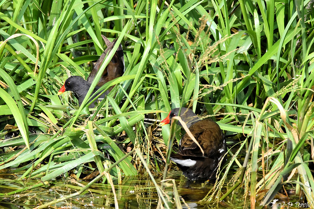 Couple de Gallinules poule-d'eau
