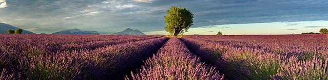 2019-07-11 France Lavendelfeld in der Morgensonne