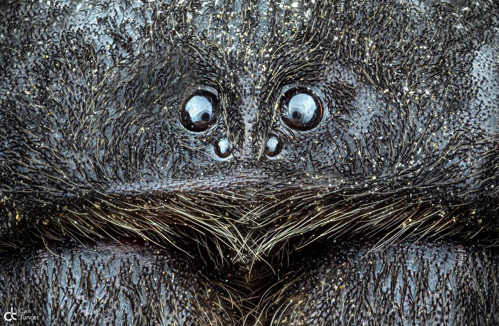 Velvet Spider 2
