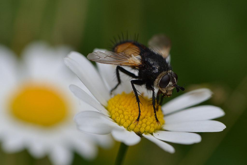 [cf. Nowickia ferox] Tachinidae , mais laquelle ?  48290917862_ccf2db104f_b