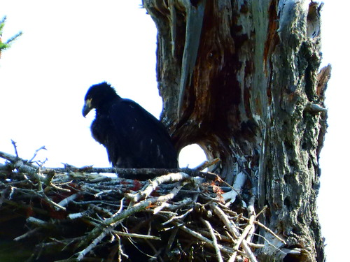july 13 2019 10:35 - Eaglet | by boonibarb