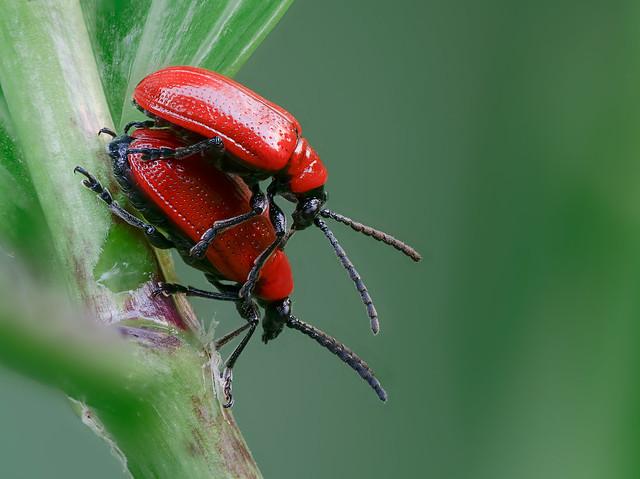 07_2-beetle_182B+Raynox-250+ZR