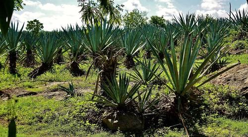 MEXIKO, Yucatán , Hacienda Sotuta de Peón, Sisalplantage,   19084/11744