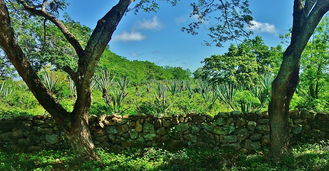 MEXIKO, Yucatán , Hacienda Sotuta de Peón, Sisalplantage, 19081/11741