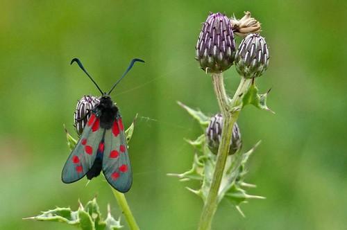 Six Spot Burnet Moth at North Cave Wetlands