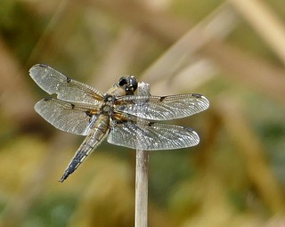 Four-spot Chaser, North Cave Wetlands