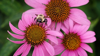 Eye on UMSL:  Bee unique:  July 11, 2019
