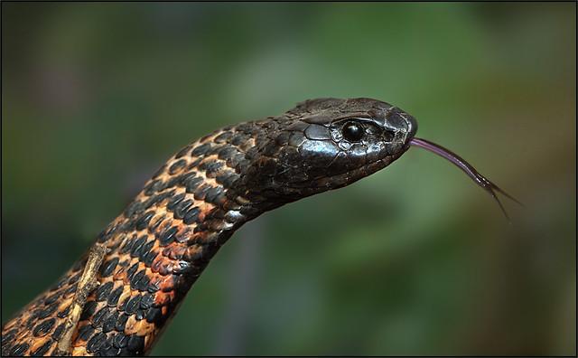 Rinkhals Cobra (Hemachatus haemachatus)