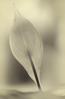 Leaf-