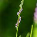Bruce Batten posted a photo:Chinese Spiranthes, Ladies' Tresses, Spiranthes sinensis var. amoena, ネジバナ
