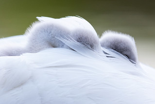 Sleeping Cygnets