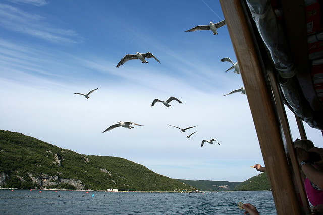 Luring Seagulls
