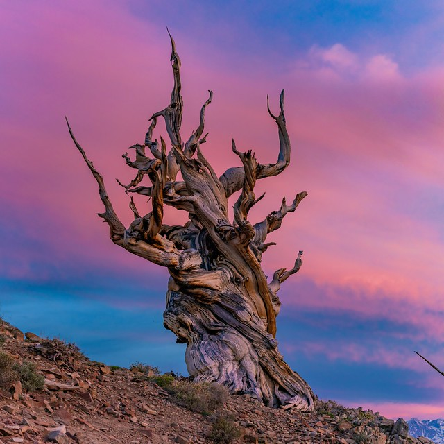 Cotton Candy Sunset Over The Ancient Bristlecone Pine Forest