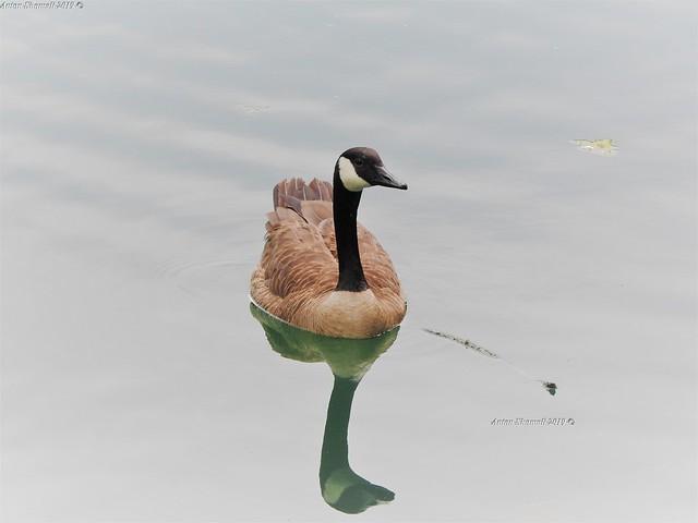 Male Canada Goose