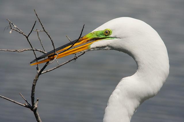 3S5X0977 Great Egret