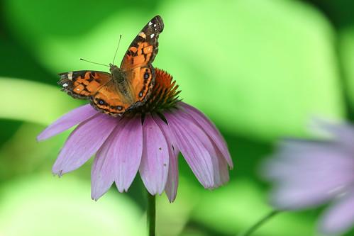 Purple Cone Flower w/unidentified butterfly