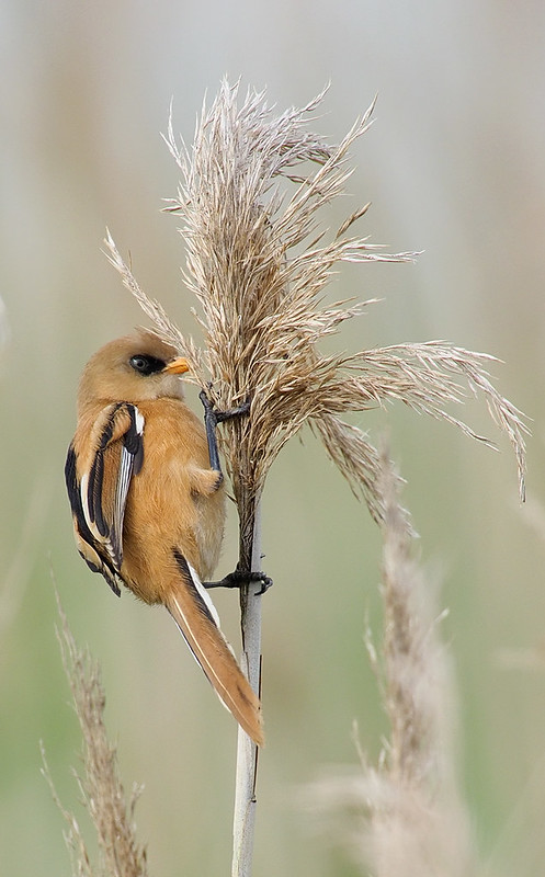 Bearded Tit young