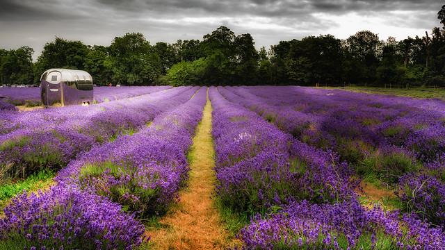 Lavender field..x