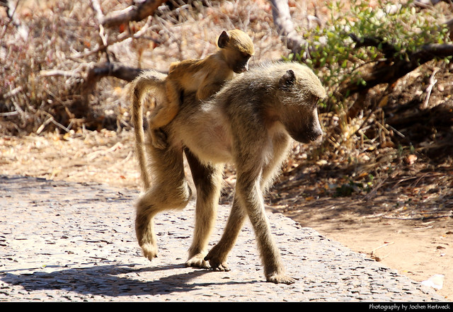 Baboon with baby, Victoria Falls, Zambia