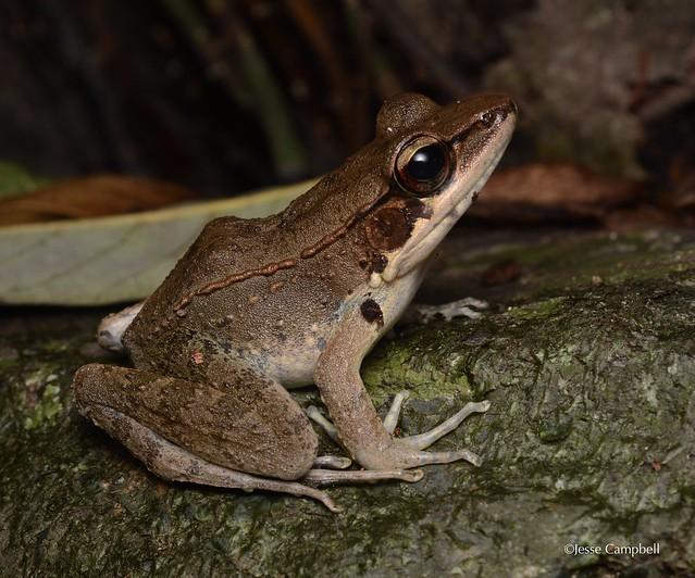 Australian Wood Frog (Papurana daemeli). Cairns, QLD