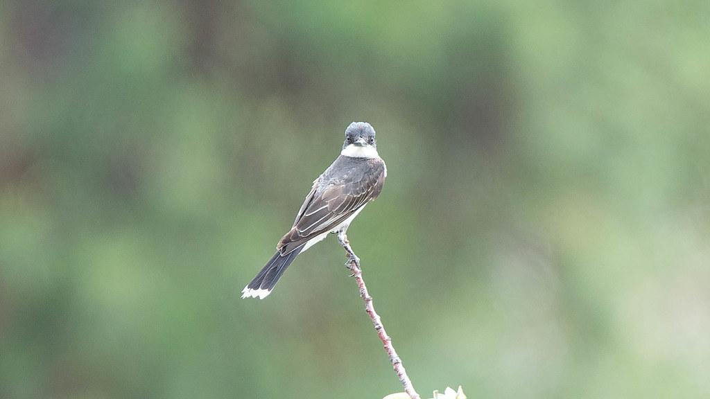 Eastern Kingbird (1 of 1)