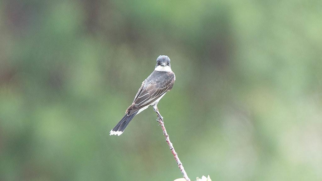 Eastern Kingbird (1 of 1)