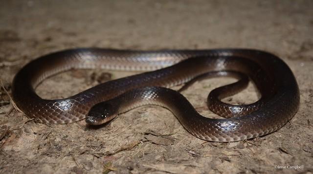 Slaty-grey Snake (Stegonotus cucullatus). Cairns, QLD
