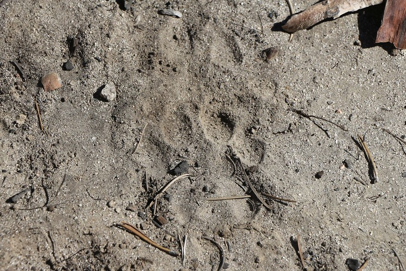 We think that these might be Mountain Lion tracks