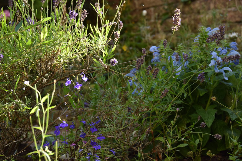 Lavender, lobelia and salvia