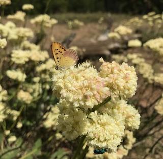 Buckwheat & Butterflies