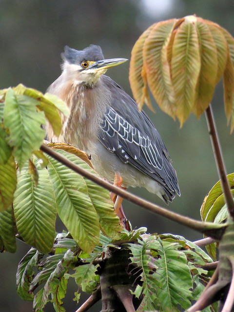 Me sorprendió encontrar a esta garcita rayada en la copa de un árbol pues suelen posarse inadvertidas a baja altura. Supongo buscaba secar un poco su plumaje tras una mañana bañada por una lluvia pertinaz.