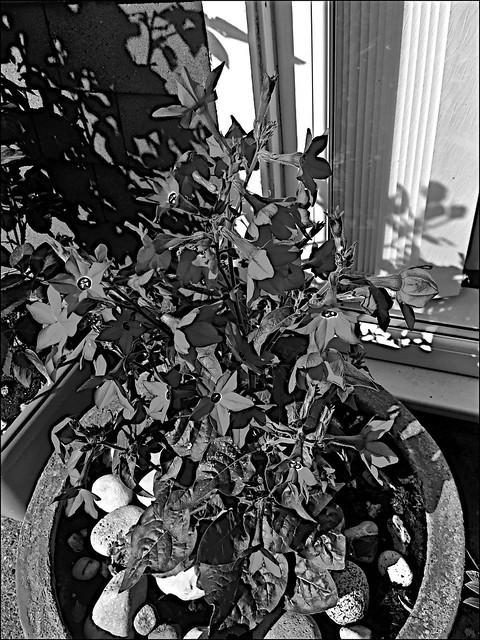 In bloom  Monochrome