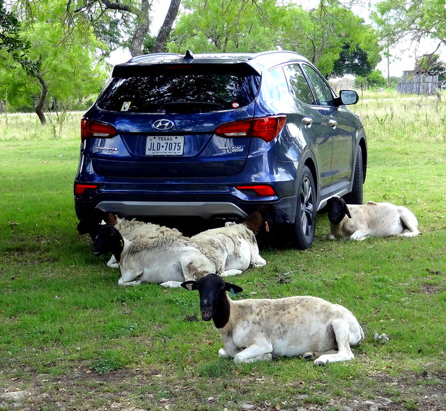 Sheep Sit-in Strike