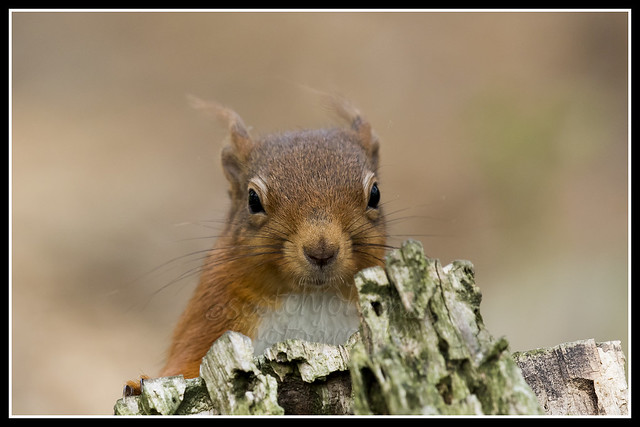 IMG_0036 Red Squirrel