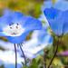 Menzies' Baby Blue Eyes, 4.1.19