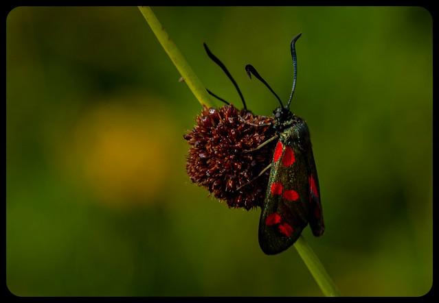 Meadow life - Burnett moth