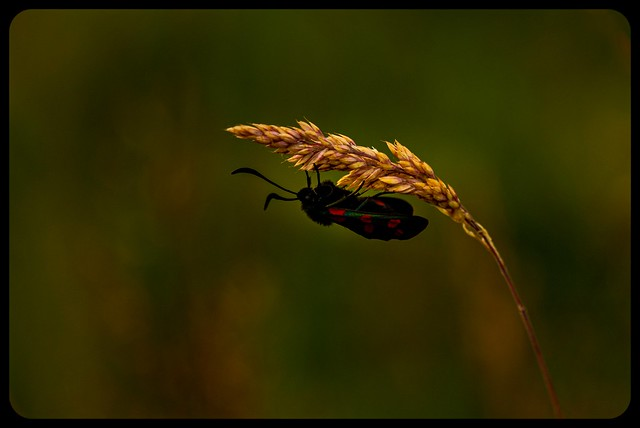 Meadow life _ Burnett moth