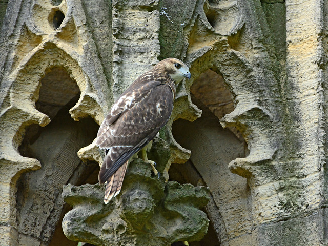 Fledgling on a Pulpit - 4055