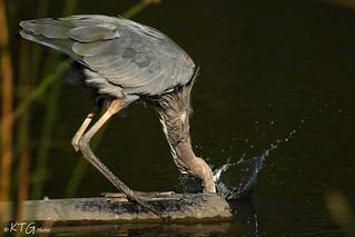 IMG_7177 Great Blue Heron Fishing