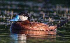 0P6A7074 Ruddy Duck