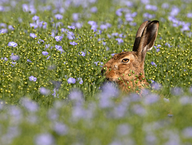 Brown hare lying-up in flax