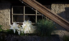 Lilien in der Fensterbank