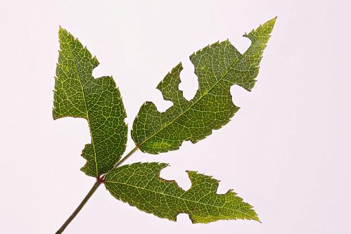 Tasty rose leaf