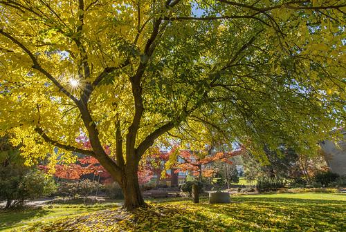 sou campus autumn southern oregon university ashland fall color foliage nikon d500 landscape al case college tokina 1120mm f28 tree sunlight sunstar sun sunray