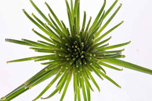Zwerg-Zyperngras (Cyperus alternifolius 'Nanum')