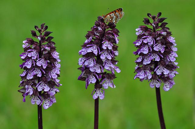 Lady Orchid and Heath Fritillary Butterfly (Orchis Purpurea, Melitaea Athalia)
